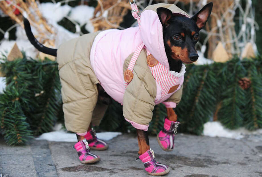 Odi, a six-year-old pet Chihuahua, is dressed for the cold by his owner taking him for a walk in Beijing on January 6, 2010. A frigid Siberian cold front gripping northern and central China has caused coal and power shortages as residents scrambled to keep warm, state press reported, as the cold front blanketed much of northern China with snow over the weekend, including the biggest snowfall in Beijing in decades. Photo: Frederic J. Brown, AFP / Getty Images