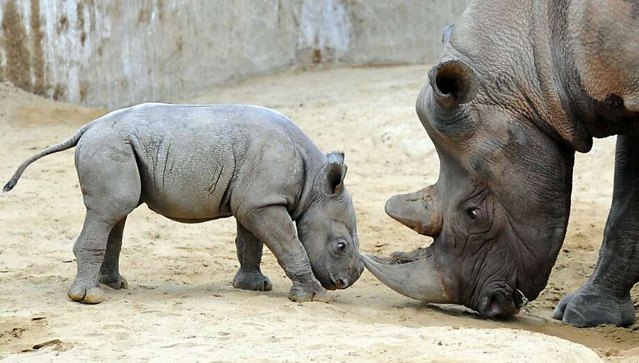 Lower your head, stomp your hoof, then shove your horn upward in a spearing motion: And that's how you get the lions to leave you alone. (A baby rhino learns from Mom at the Magdeburg Zoo in Germany.) Photo: Hendrik Schmidt, AFP/Getty Images