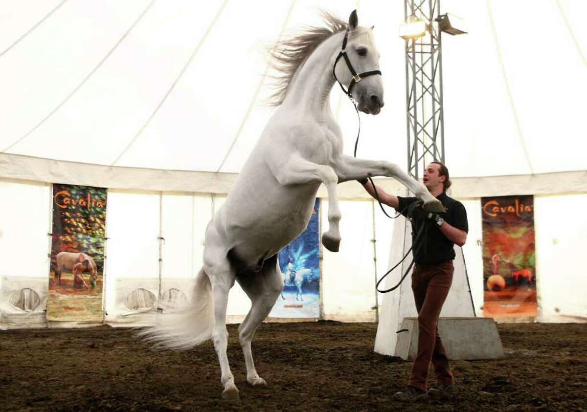 Iman, a Portugese Lusitano, rears as handler Gregory Molina shows off the horse as 45 of the show Cavalia's hooved stars arrived at the white big top tent on Thursday.