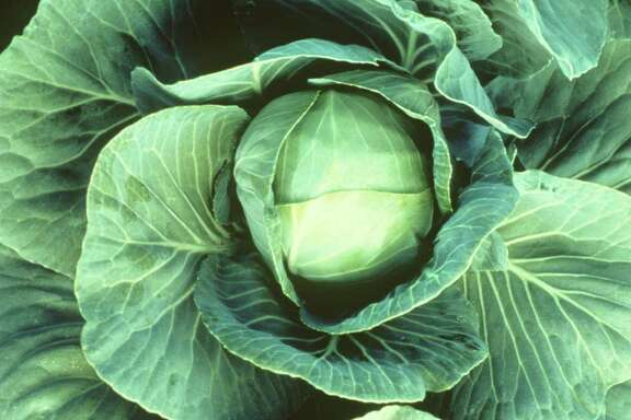 cabbage.  HOUCHRON CAPTION (09/12/1998): None.  HOUCHRON CAPTION  (07/23/2003):  There are no rules about what goes into coleslaw, but nearly all recipes have cabbage in common. Some slaws are given a creamy dressing, others a vinaigrette.