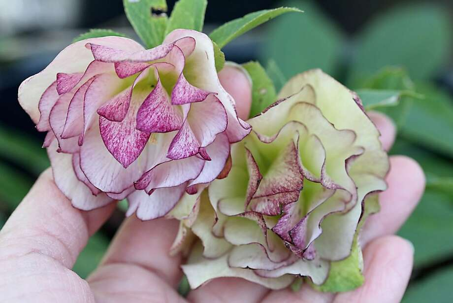 Helleborus peppermint ice Photo: Annie's Annuals & Perennials