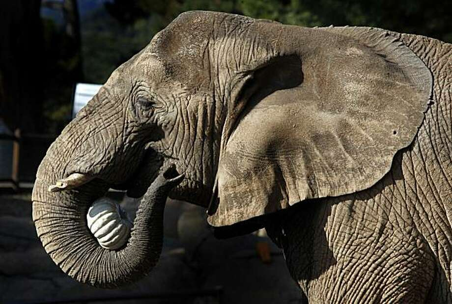 Dona a thirty year old elephant at the Oakland Zoo delighted hundreds visitors Thursday Nov. 11, 2010 as she and her fellow roommates at the exhibit were treated to a special meal of leftover donated pumpkins from Halloween. Photo: Lance Iversen, San Francisco Chronicle