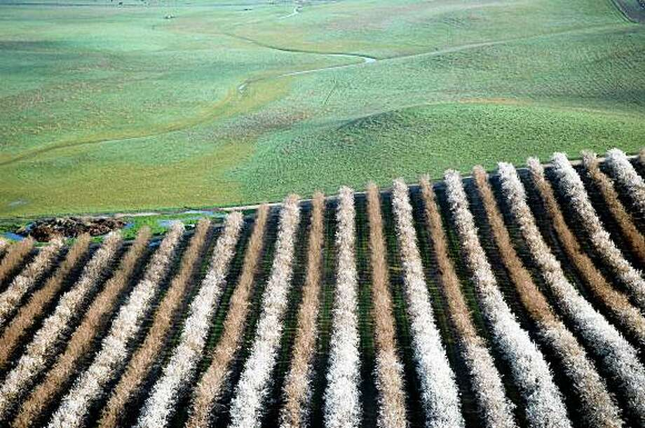 Almond trees in bloom in the Central Valley. Photo: Chronicle File
