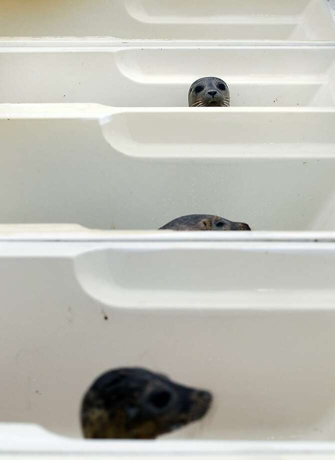 These Cialis commercials are getting really weird: At the seal sanctuary in Pieterburen, Netherlands, each bathtub has its own seal. The sanctuary set up the tubs in a tent after rescuing about 360 seals weakened by a severe storm last week. Normally it has room for only 80 pinnipeds. Photo: Catrinus Van Der Veen, AFP/Getty Images