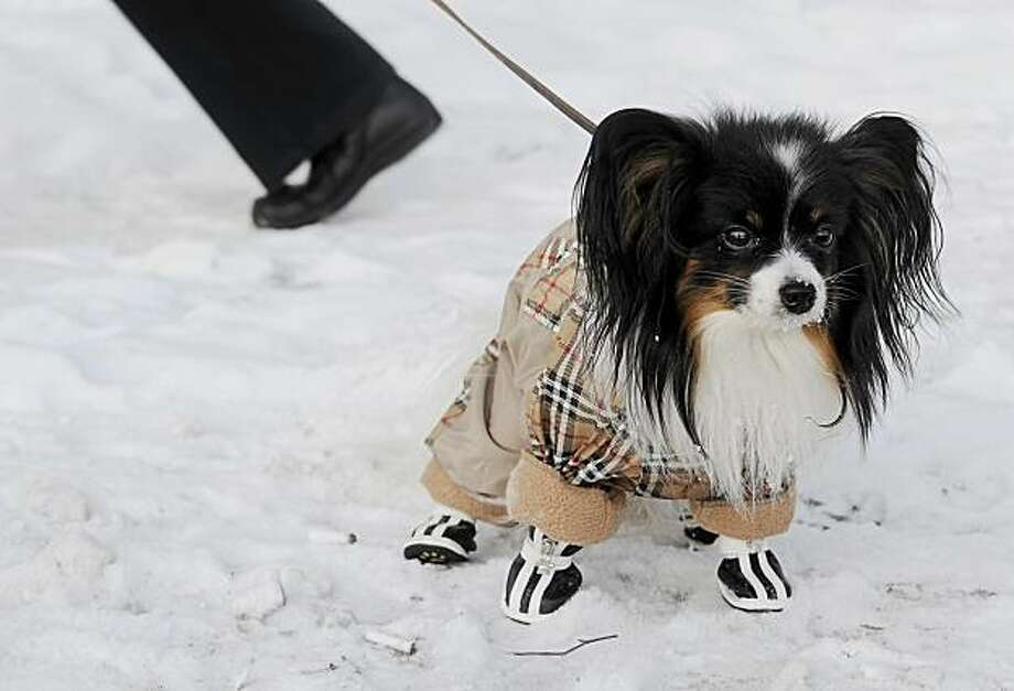 A dog wearing a special coat and boots to protect it from the cold goes for a walk in Moscow on December 16, 2009. Temperatures in Russia's capital city have dropped to -22 celsius (-11 fahrenheit) and are expected to stay low throughout the week. Photo: Natalia Kolesnikova, AFP / Getty Images