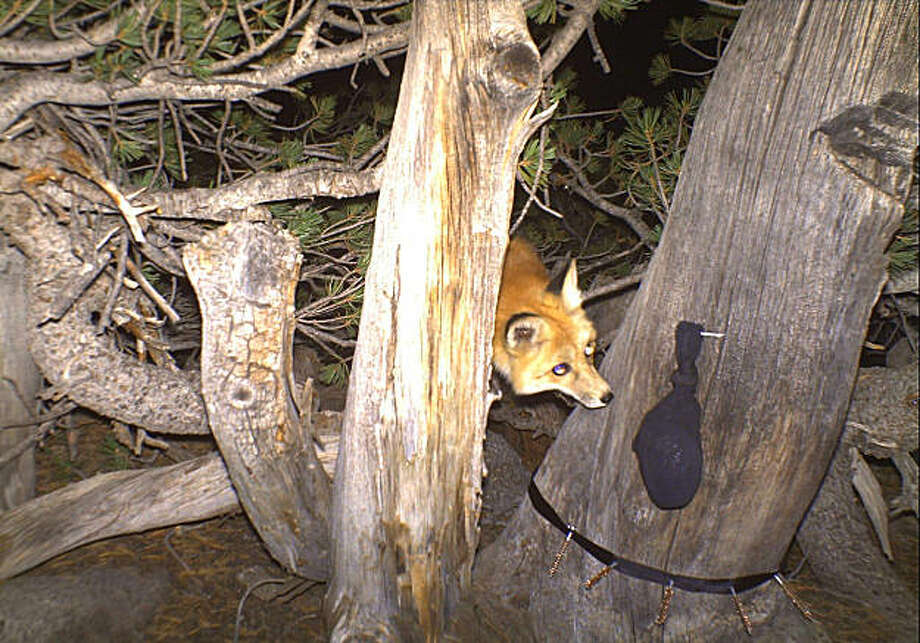 Sierra Nevada red fox looks up at sock through trees and brush at night. Photo: US Forest Service