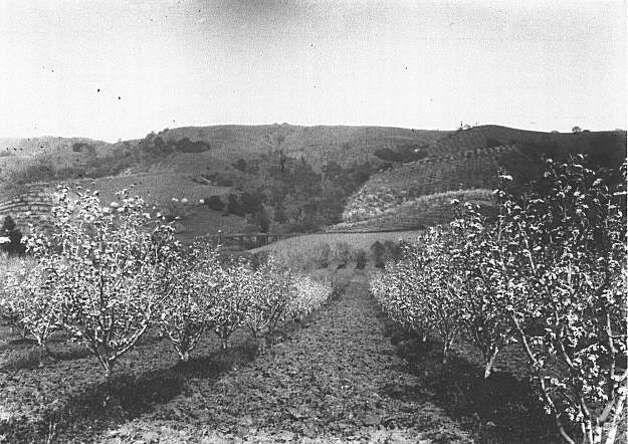 "A view of the large acreage of fruit orchards on the Wagner Ranch before they were destroyed for development. Looking east at the Wagner orchards in the days when they provided much fruit and beauty.  Wagner planted apples, nectarines, quinces, pears, apricots, prunes, plums and cherries. From the book ""Eccentrics, Heroes, and Cutthroats"" by Richard Schwartz. Photo: Courtesy Richard Schwartz"