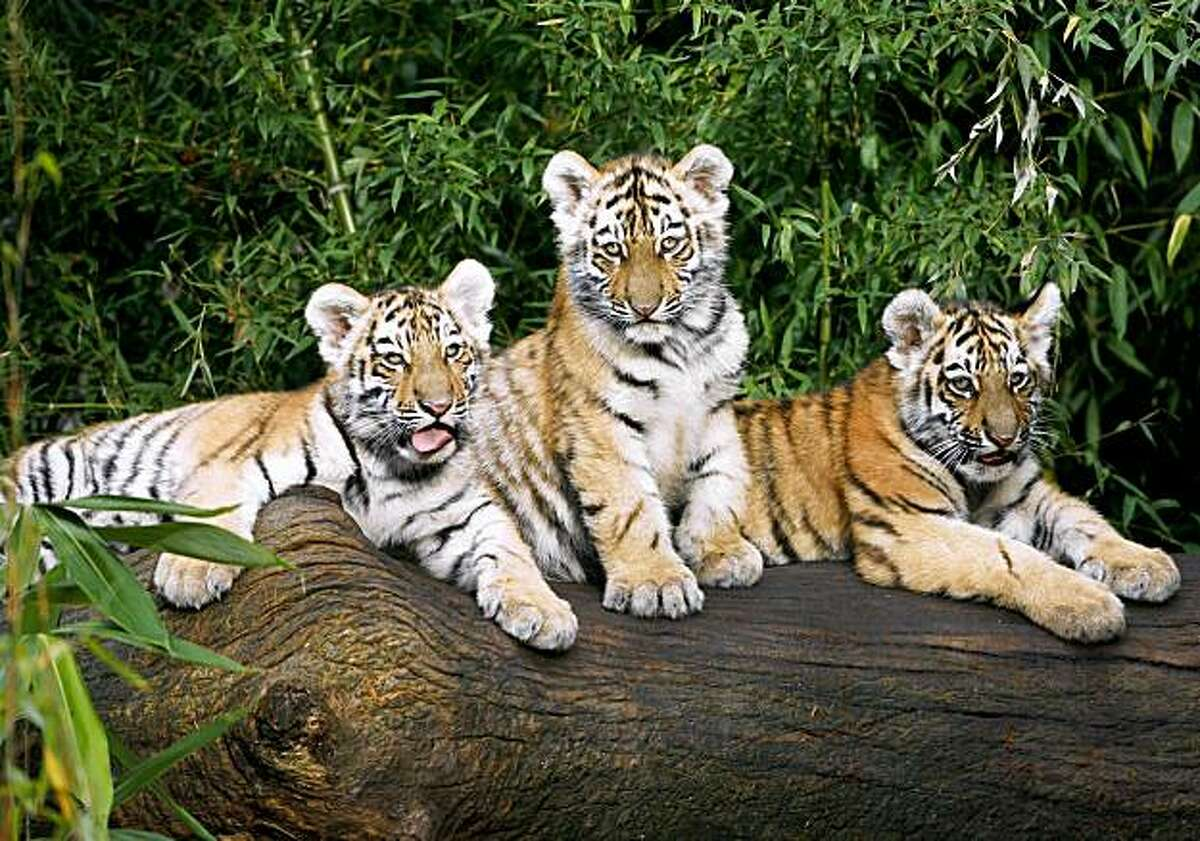 Three baby Siberian tigers sit on a log in their enclosure at the zoo in the southern German city of Nuremberg on November 20, 2009. The young tigers named Rangar, Khan and Domur were born on August 1, 2009 at the zoo.