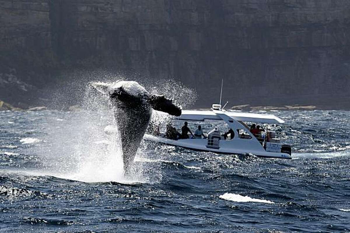 In this photo released by whalewatchingsydney.net, a humpback whale calf just off manly in Sydney, Australia, Thursday Nov. 19, 2009, breeches the water in front of a small whale watching boat.