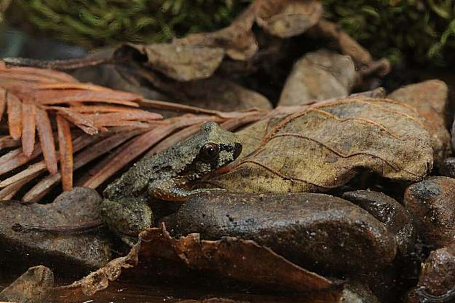 Young Coastal Tailed Frog (Ascaphus truei) Photo: Larry Serpa, The Nature Conservancy