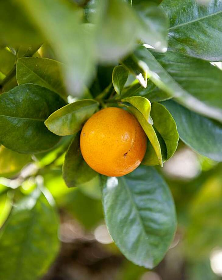 The Fukushu kumquat is seen among Gene Lester's extensive citrus fruit collection on his property in Watsonville, Calif., January 10, 2011. Photo: Chad Ziemendorf, The Chronicle