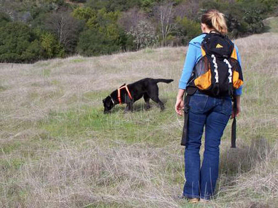 Maggie, a Labrador retriever mix, is seeking out the scat of wildlife at the Hopland Research and Extension Center, a UC research field station in Mendocino County. Sarah Reed, in the foreground, trained Maggie to detect the scat of target species as partof a research project to improve the accuracy of non-invasive wildlife surveys. Photo: Nancy Haggerty, Marin Humane Society