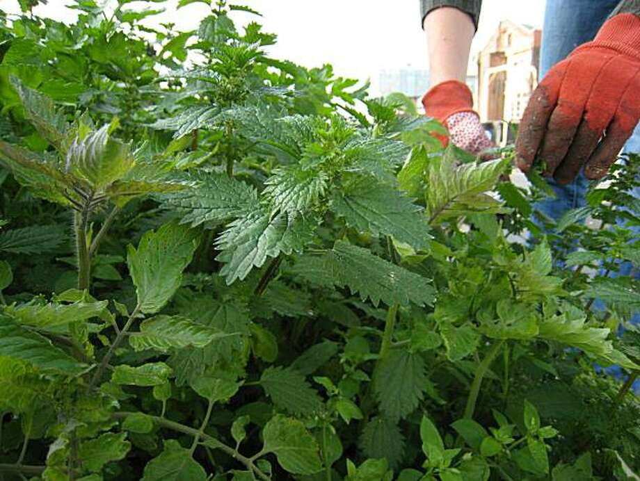 Nettles are filled with nutrients, and are wonderful for soil. Photo: Erick Wong