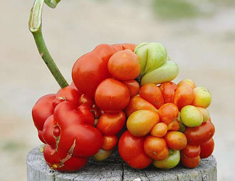Reisetomate Photo: Baker Creek Seeds