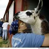 "Denise Brokamp holds ""Casper"",  a llama owned by her brother Hal Branges, at a temporary animal shelter at the Santa Cruz County Fairgrounds in Watsonville, Calif., on Saturday June 21, 2008."