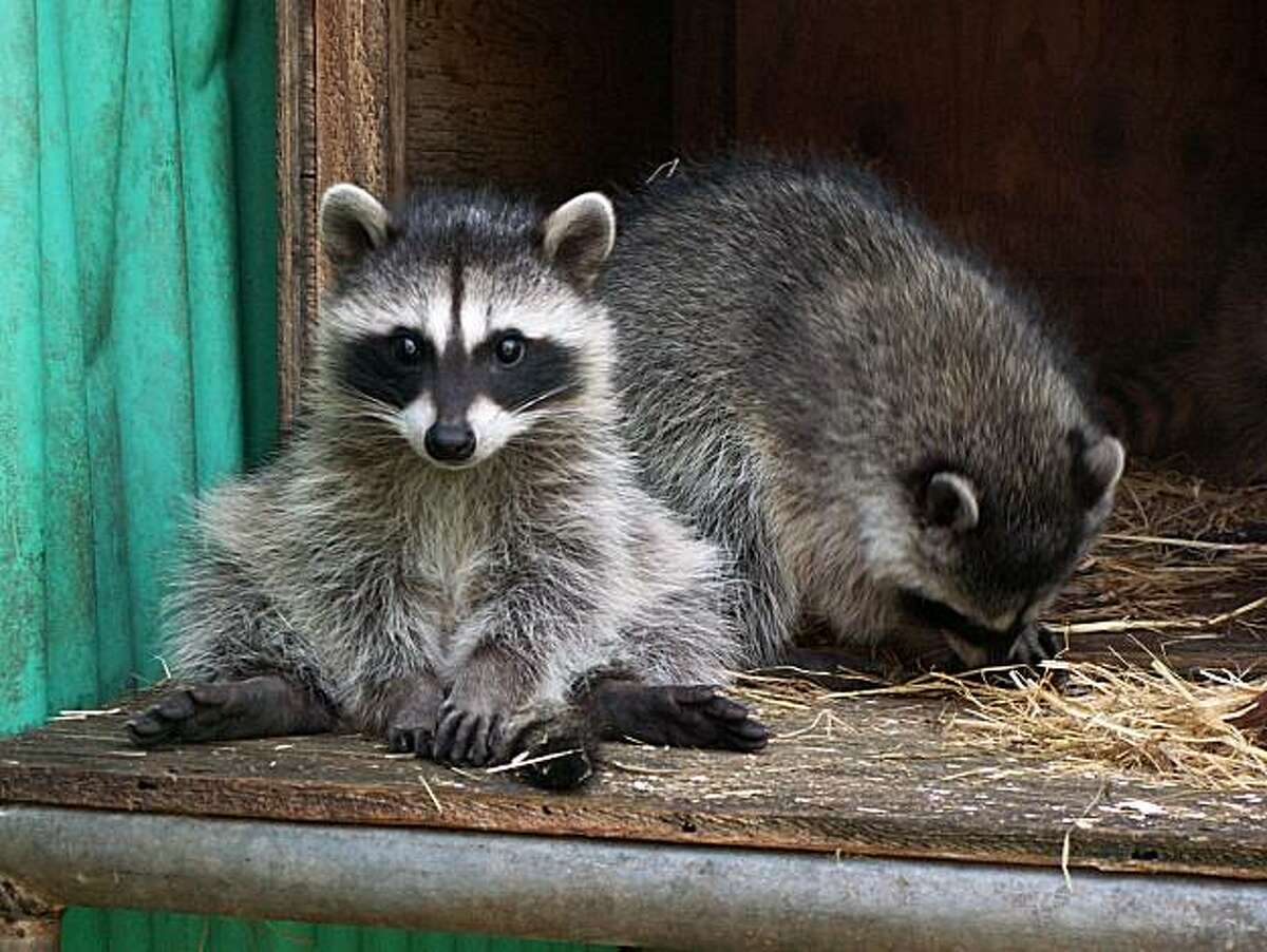 A file photo of racoons.