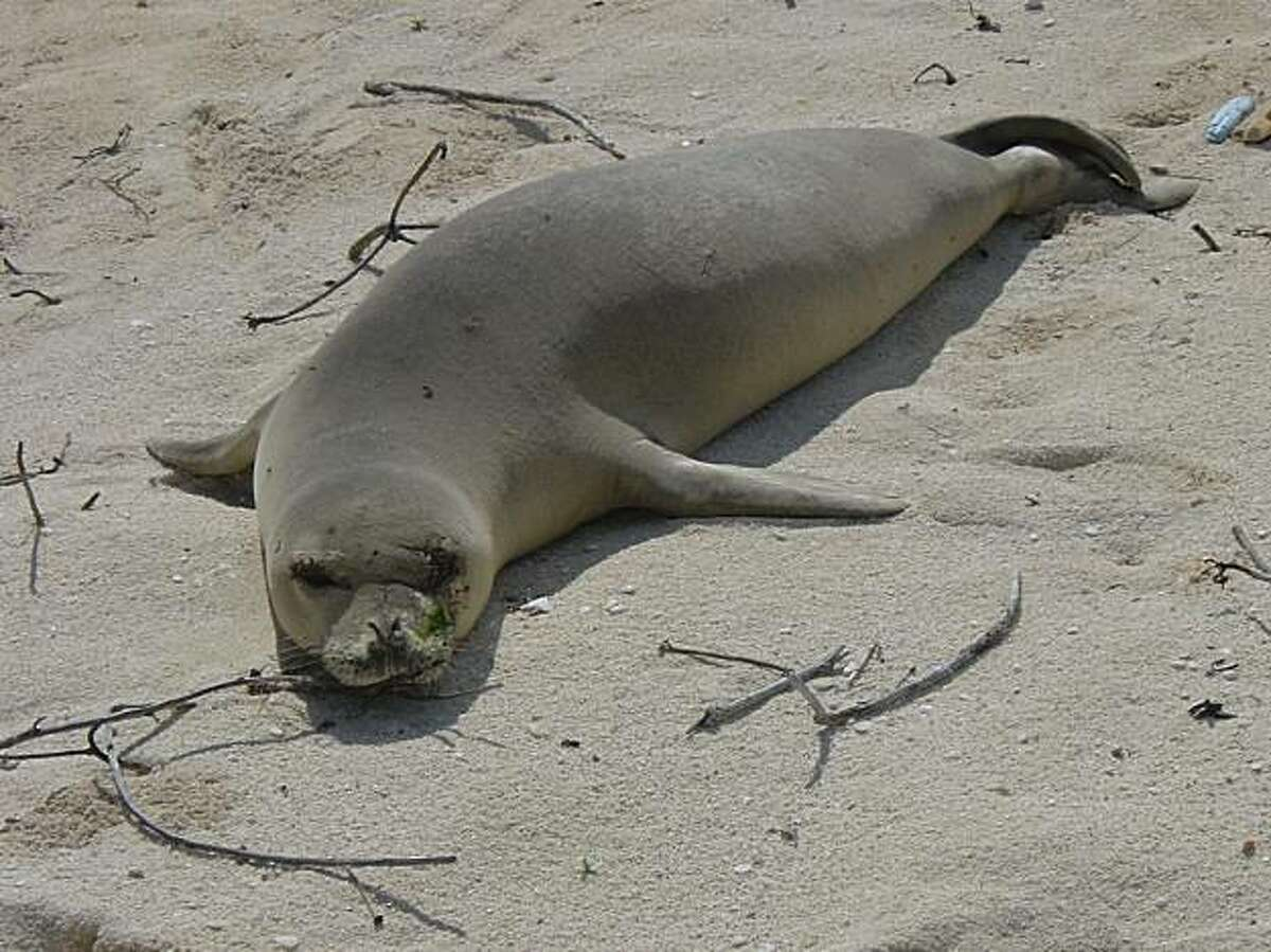 The rare Hawaiian monk seal, named Hawaii's state mammal in 2008, is one of only two native mammals.