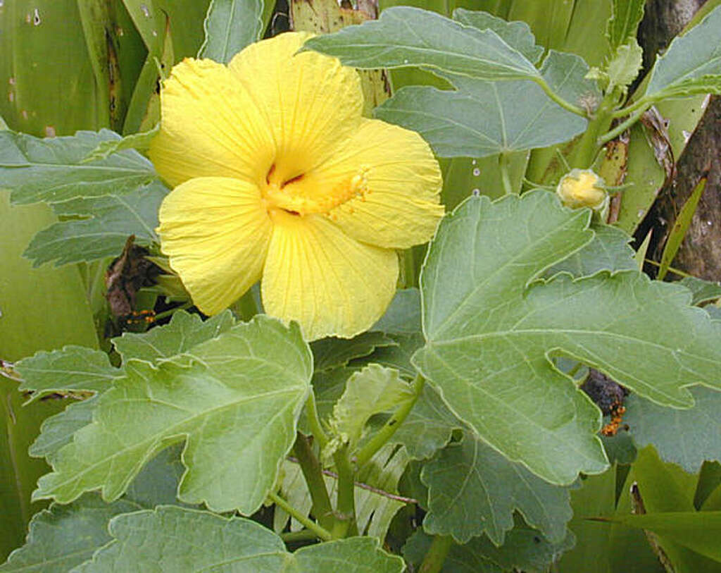 Emblems of hawaii a surprise to many americans sfgate a native variety of yellow hibiscus called mao hau hele became hawaiis official flower izmirmasajfo Choice Image