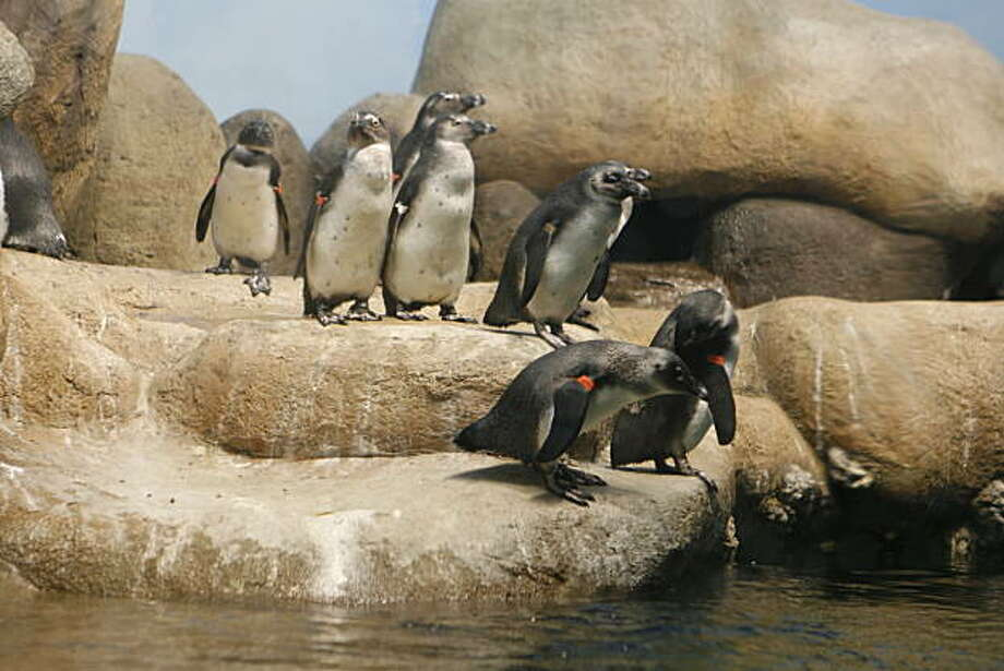 Some of the 20 penguins at the new exhibit in The California Academy of Sciences. The California Academy of Sciences in its new Golden Gate park building introduced the whole African Penguin colony with a big show in the Academy's African Hall on Wednesday, June 18, 2008 in San Francisco, Calif. Photo By Christina Izzo/ The Chronicle Photo: Christina Izzo, The Chronicle