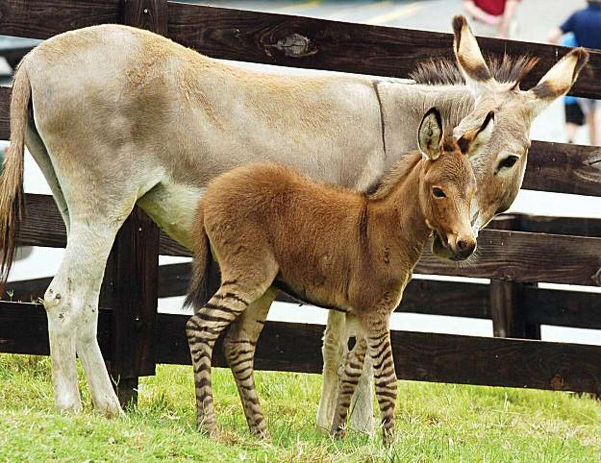 A four-day-old Zedonk, a rare cross between a zebra and a donkey, stands next to her mother at the Chestatee Wildlife Preserve in Lumpkin County, Ga. Monday July 26, 2010. The director of the preserve says it is the first time in 40 years that a zedonk has been born there.