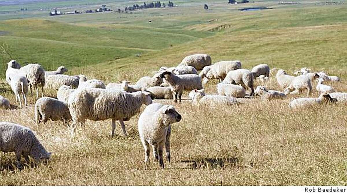 Don Watson's sheep graze a hillside at the Infineon Raceway property in Sonoma.