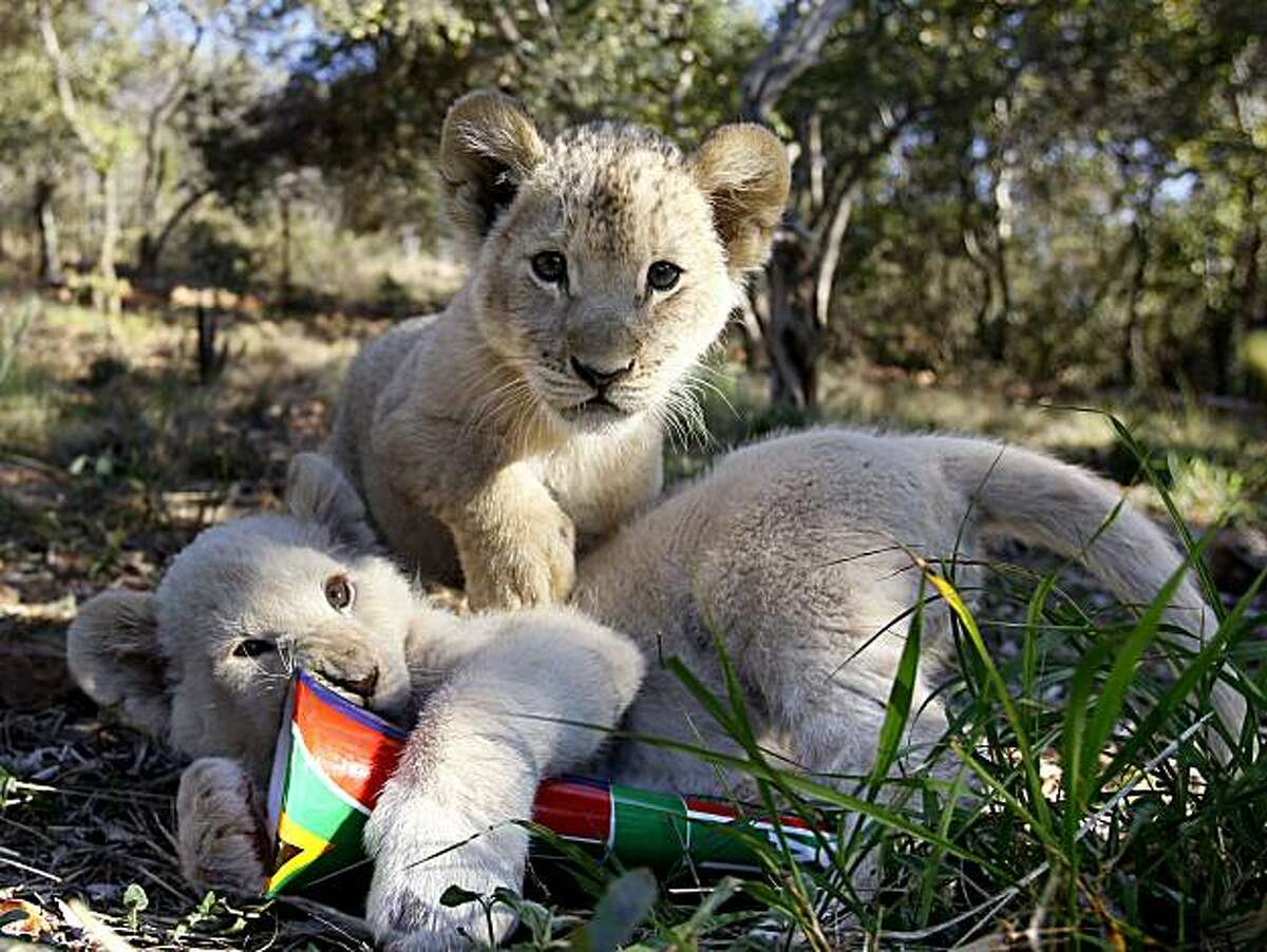 Ten week old white lion cub that are being hand reared after the mother rejected them, play with a South African vuvuzela near Rustenburg, South Africa, Sunday June 13, 2010. The vuvuzelas were given to them as toy by the farm owner who raises them.