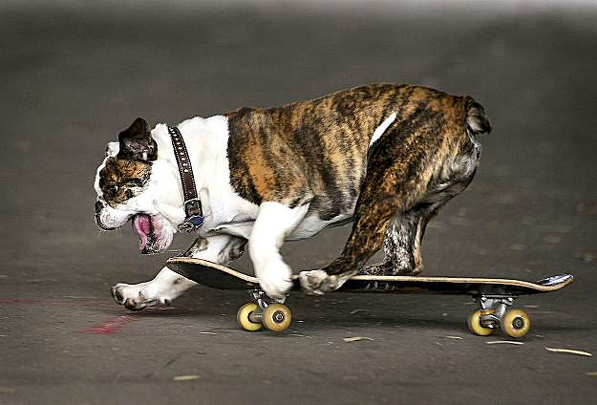 Lil' Moe, an English Bulldog, propels himself while riding a skateboard at the Bogert Park pavillion in Bozeman, Mont. Thursday, June 10, 2010. Lil' Moe's owner, Kari Nelson, said she taught him to ride by putting cookies on the skateboard.