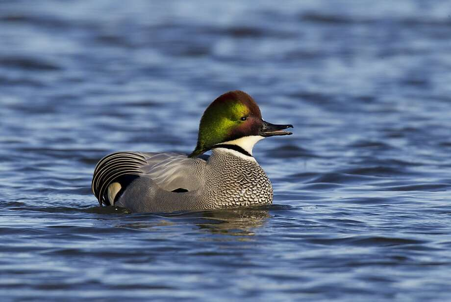 The Falcated duck from Asia has captured the attention of many with its rarity, beauty and personality. Photo taken Sunday, January 8, at Colusa National Wildlife Refuge. Photo courtesy Mike Peters.   Permission to use. Photo: Mike Peters, Courtesy Mike Peters