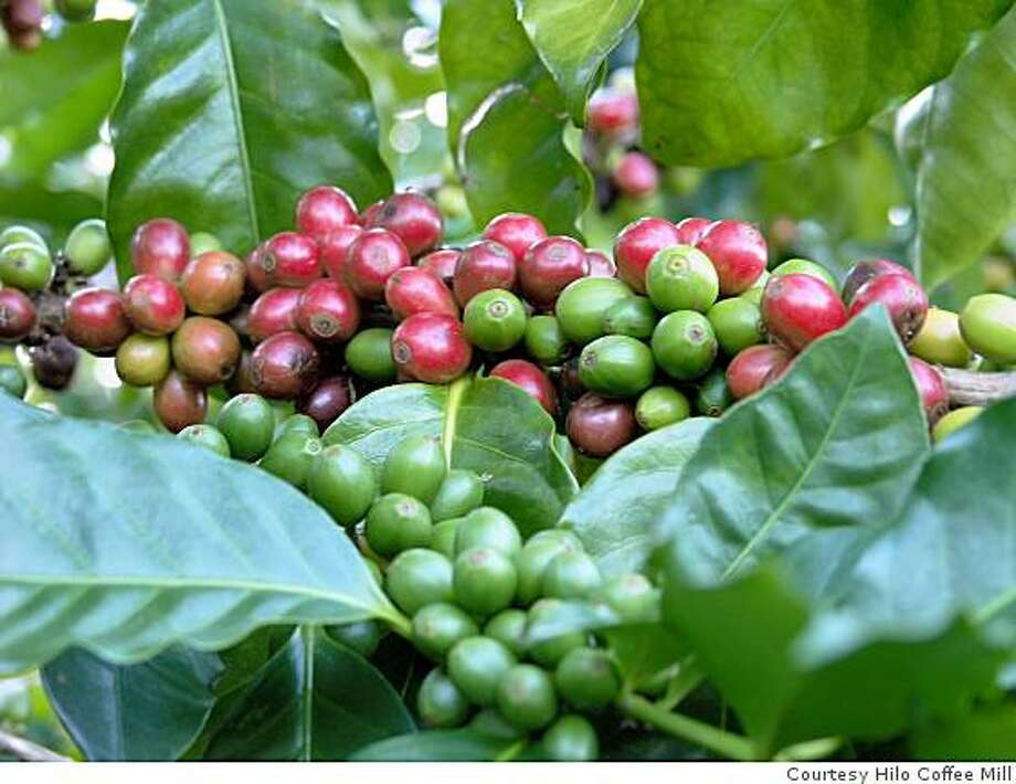 Coffee cherries will spill the beans after processing. Photo: Courtesy Hilo Coffee Mill