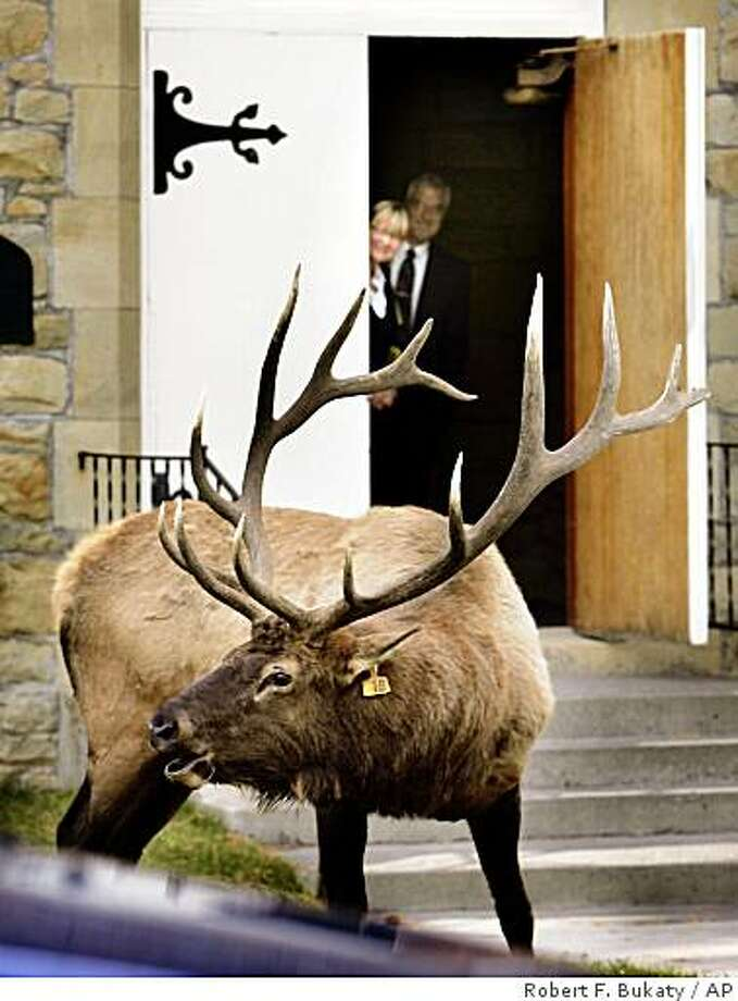 File photo, seeking more generic caption... A bull elk bugles as he proclaims his mating territory in front of the Yellowstone Park Chapel, Sunday, Sept. 23, 2007, in Mammoth Hot Springs, in Yellowstone National Park, Wyoming. Church custodian Christine Miller and the Rev. William R. Young watch from the doorway. Park rangers kept church-goers from entering the church until the elk moved on. Aggressive bull elk have attacked several vehicles in recent days. One attack punctured the tire of a mini-van carrying a family from Bozeman, Mont. (AP Photo/Robert F. Bukaty) Photo: Robert F. Bukaty, AP