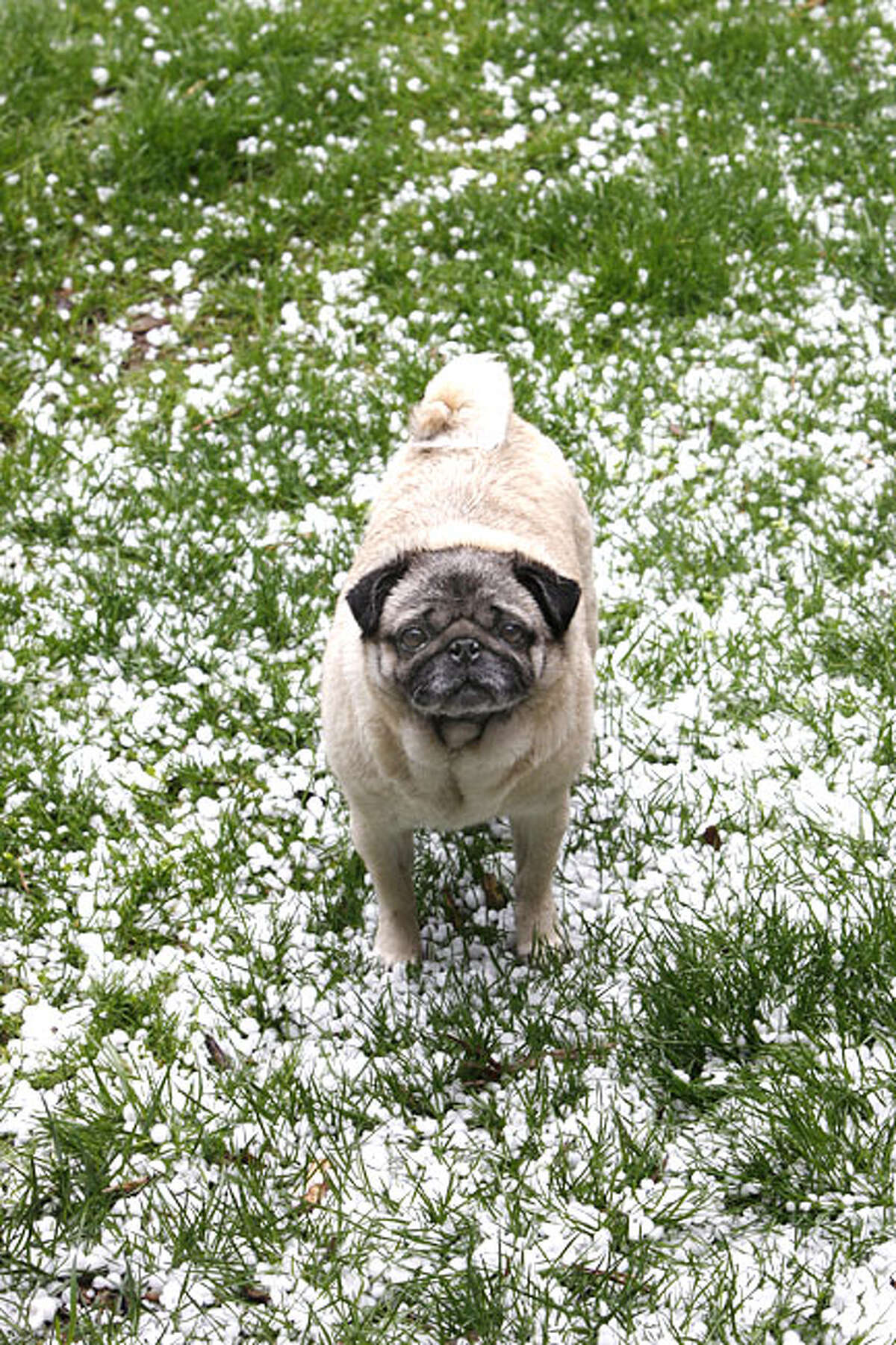 A pug looks up after a brief hail storm in Clarence, a suburb of Buffalo, N.Y., Wednesday, April 7, 2010.
