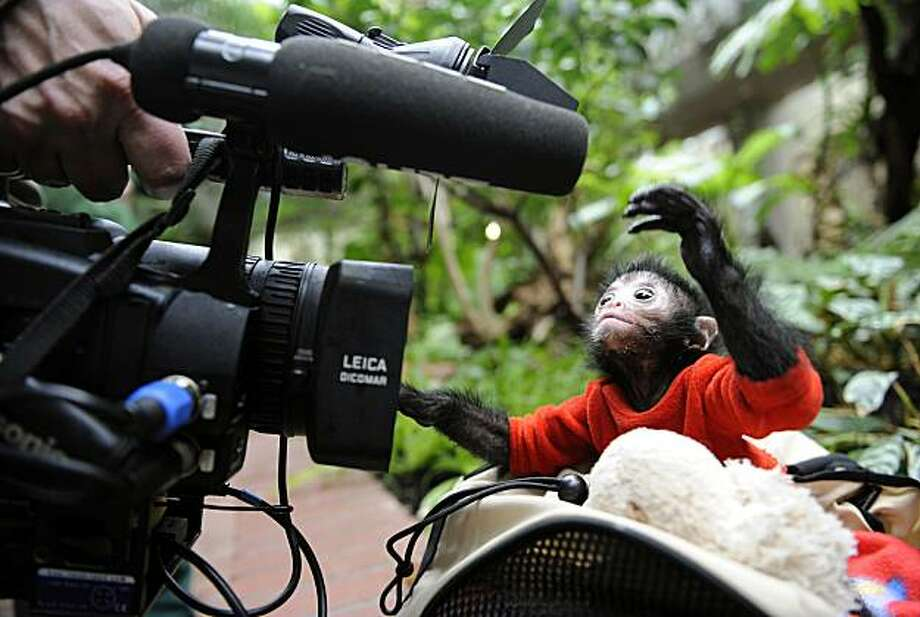 "The black-headed spider monkey baby ""Azusa"" snaps at a video camera at the zoo in Wuppertal, western Germany on April 1, 2010. The baby was born on October 31, 2009, but was raised by hand after integration problems with the monkey group. Photo: Volker Hartmann, AFP / Getty Images"