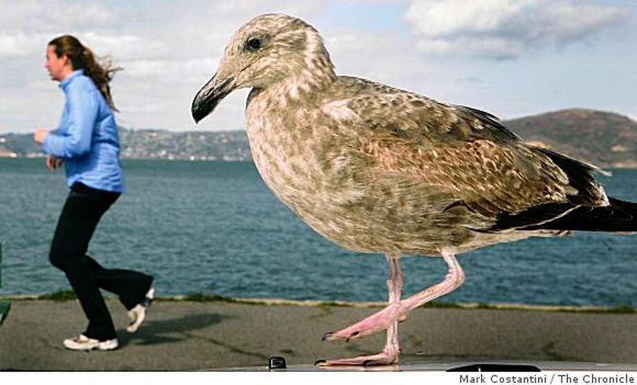 A seagull (right) imitates a jogger at the ocean near the Marina Green in San Francisco, Calif.on Tuesday, February 10, 2009. Photo: Mark Costantini, The Chronicle