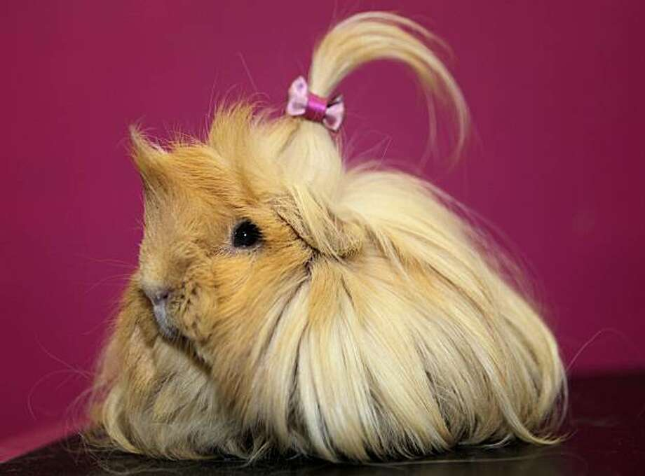 Peggy, a guinea pig, poses for a picture after having its hair brushed and styled at PetZoo, a beauty parlor for pets in Cuenca, Ecuador, Tuesday, March 9, 2010. Photo: Dolores Ochoa, AP