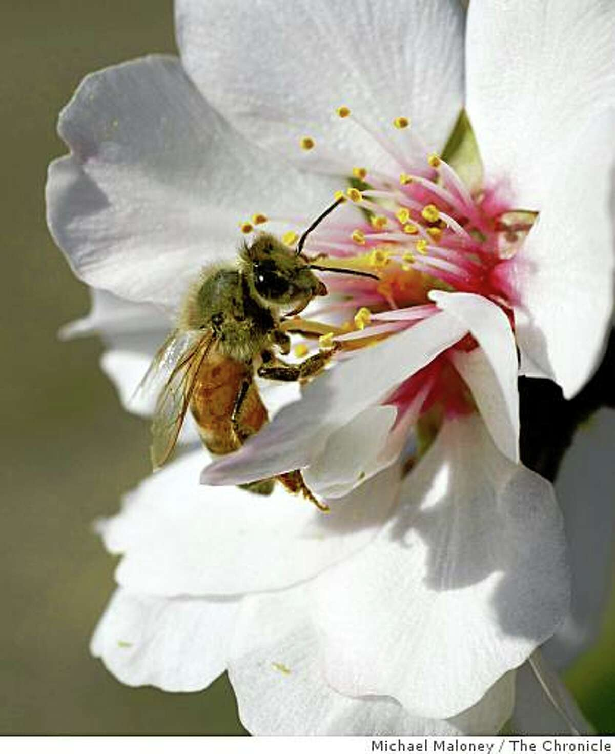A special breed of honeybee from Arizona gathers pollen from an almond blossom in a Dixon, Calif. orchard on March 3, 2008.Researchers at UC Davis are experimenting with various breeds of bees hoping to find one that can resist the diseases and parasites that are affecting bees throughout the country, a huge threat to agriculture. Bees are needed to pollinate many of California's crops, including the almond trees now in full bloom. Photo by Michael Maloney / San Francisco Chronicle