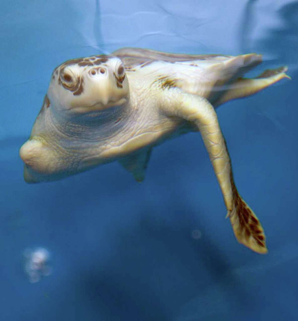 Ancient Sea turtles have been swimming in the oceans for 110 million years, virtually unchanged.