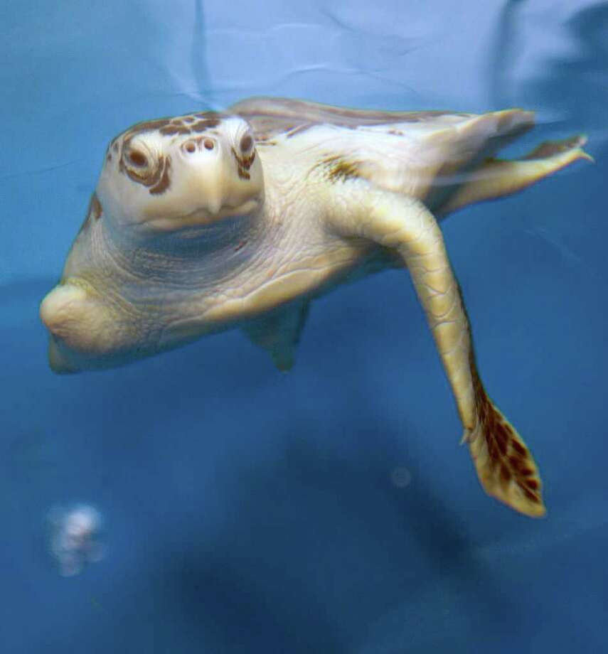 AncientSea turtles have been swimming in the oceans for 110 million years, virtually unchanged. Photo: James Nielsen / © 2011 Houston Chronicle