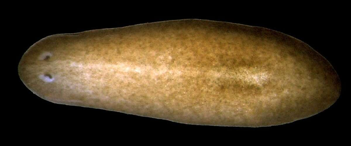 UCSF scientists studied cells in this tiny flatworm called a planarian, Schmidtea mediterrania, less than an inch long.