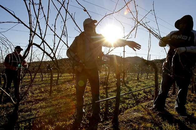 A pruning crew at Hudson Vineyards works into the late afternoon on some Chardonnay vines. Hudson Vineyards, off the Carneros Highway in Napa, California, is looking forward to a lot of rain in the week to come.  They have begun pruning their vineyard for the winter. Photo: Brant Ward, The Chronicle