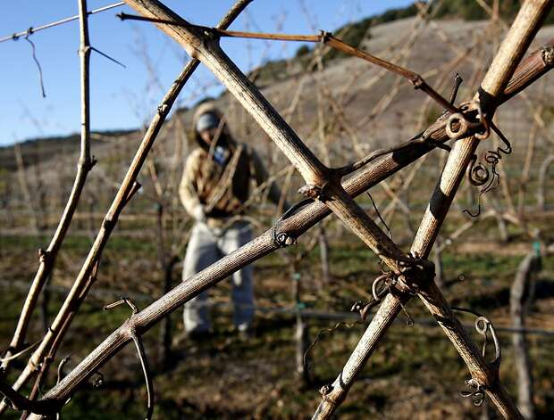 Chardonnay vines at Hudson Vineyards are being pruned in front of brown hillsides. Hudson Vineyards, off the Carneros Highway in Napa, California, is looking forward to a lot of rain in the week to come.  They have begun pruning their vineyard for the winter. Photo: Brant Ward, The Chronicle
