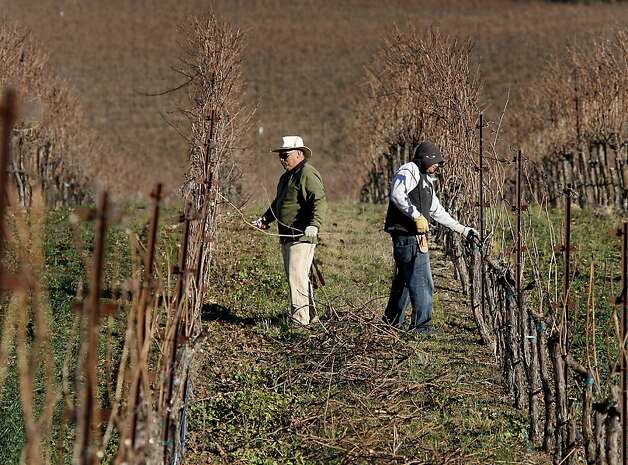 A pruning crew at Hudson Vineyards works on Chardonnay vines in front of a brown hillside. Hudson Vineyards, off the Carneros Highway in Napa, California, is looking forward to a lot of rain in the week to come.  They have begun pruning their vineyard for the winter. Photo: Brant Ward, The Chronicle