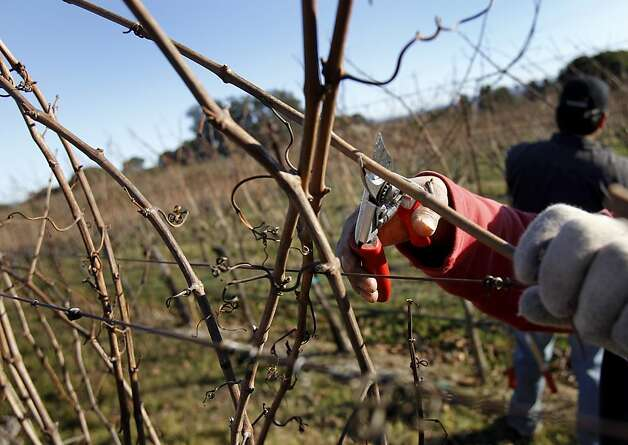 "Hudson Vineyards uses a ""cane"" pruning style on these Chardonnay vines. Hudson Vineyards, off the Carneros Highway in Napa, California, is looking forward to a lot of rain in the week to come.  They have begun pruning their vineyard for the winter. Photo: Brant Ward, The Chronicle"