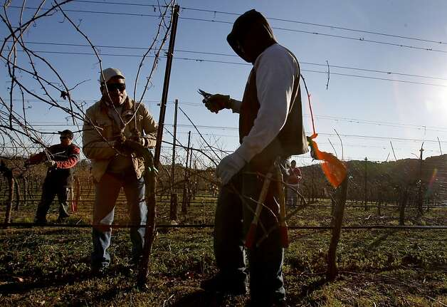 "A pruning crew uses a ""cane"" pruning technique on some Chardonnay vines at Hudson Vineyards. Hudson Vineyards, off the Carneros Highway in Napa, California, is looking forward to a lot of rain in the week to come.  They have begun pruning their vineyard for the winter. Photo: Brant Ward, The Chronicle"