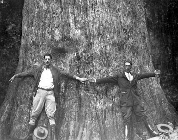 "In this 1920's photo from the Florida State Archives, two men stand together and spread their arms to give an indication of the size of ""The Senator,"" a giant bald cypress tree at Big Tree Park in Seminole County north of Longwood, Fla. The 118-foot-tall bald cypress caught fire early Monday, Jan. 16, 2012 and collapsed. Seminole County Fire Rescue spokesman Steve Wright told the Orlando Sentinel that the tree burned for several hours from the inside out. (AP Photo/Florida State Archives via Orlando Sentinel) Photo: Associated Press"