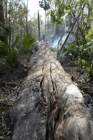 "Smoke rises from the smoldering base and fallen trunk of one of the world's oldest cypress trees, thought to be 3,500 years old, at Big Tree Park in Longwood, Fla., Monday, Jan. 16, 2012. The 118-foot-tall bald cypress tree named ""The Senator"" collapsed after it caught fire early Monday. (AP Photo/Phelan M. Ebenhack) Photo: Phelan M. Ebenhack, Associated Press"