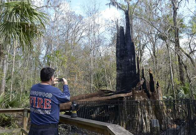 "Longwood firefighter Dave Besosa photographs the smoldering base of one of the world's oldest cypress trees, thought to be 3,500 years old, at Big Tree Park in Longwood, Fla., Monday, Jan. 16, 2012. The 118-foot-tall bald cypress tree named ""The Senator"" caught fire early Monday. (AP Photo/Phelan M. Ebenhack) Photo: Phelan M. Ebenhack, Associated Press"