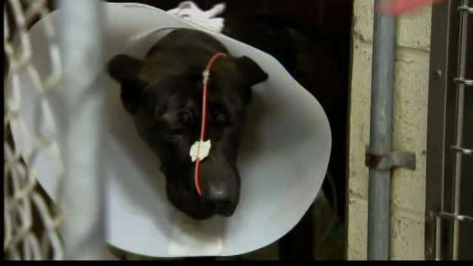 A pit bull named Spooky is recovering after being saved from the rubble of a State Street apartment in New Haven after a fire on Jan. 14, 2012. Photo: WTNH News 8