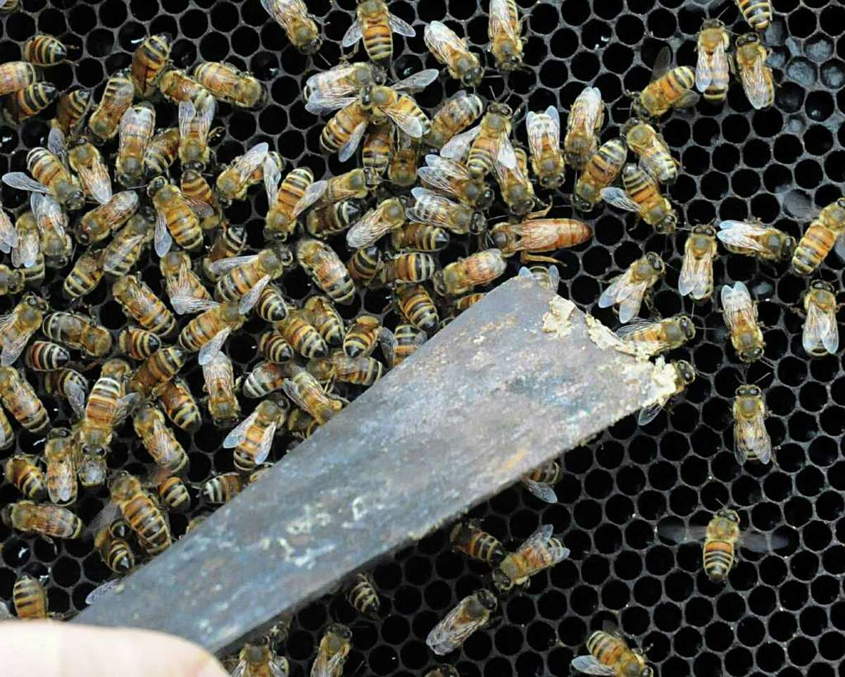 Beekeeper Conrad Craft uses his spatula to show where the queen bee is in the hive, near the left point. Both small scale and commercial beekeepers are worried about the health of their hives and honey crops because of the extended drought. Craft has been working on nursing the bees and their hives back to a healthy state.