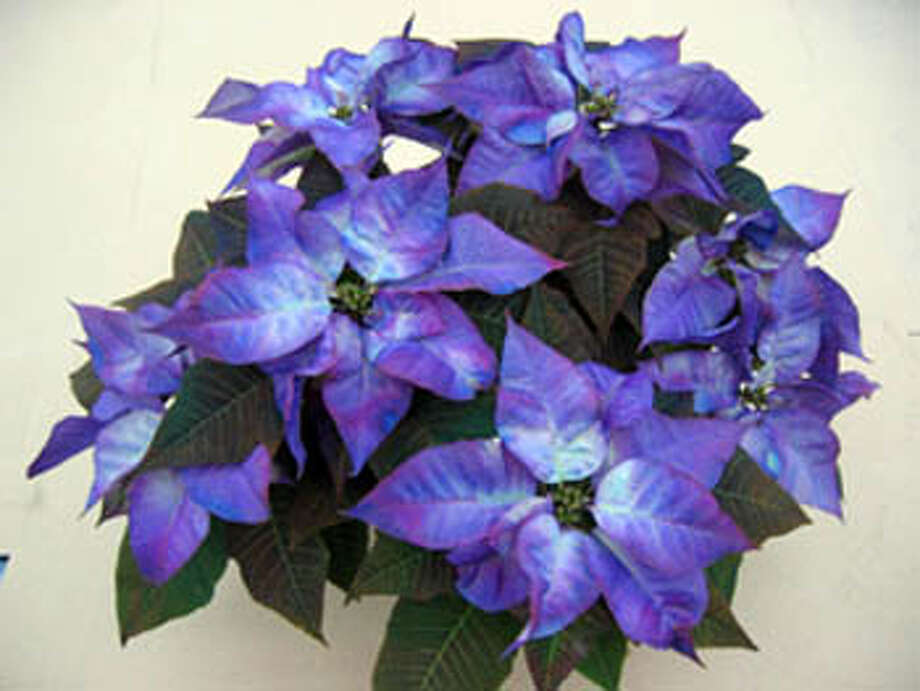 Superb Blue Poinsettia From Fantasy Colors. Photo: Ho