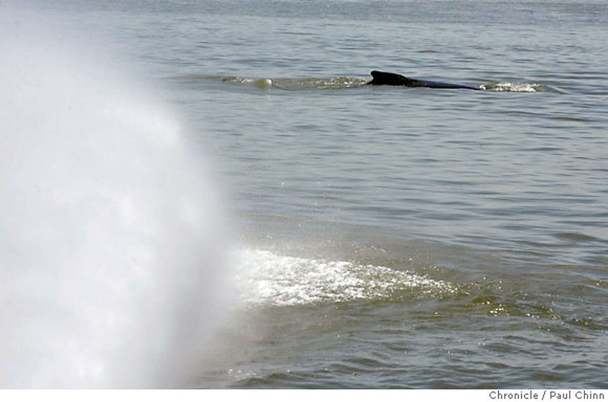 A whale surfaces near water sprayed from a fireboat. Marine biologists attempted to coax two wayward humpback whales back towards the Pacific Ocean using a fireboat from the Vallejo Fire Department in Rio Vista, Calif. on Friday, May 25, 2007. The whales responded to the spray from the boat initially but, fearing they may get used to the activity, the operation was suspended after about an hour and may try again using additional resources. PAUL CHINN/The Chronicle